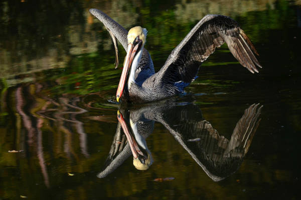 California Brown Pelican Photograph - Reflections On Takeoff by Fraida Gutovich