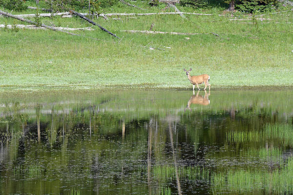 Photograph - Reflective Deer In Yellowstone's Divide Lake by Bruce Gourley