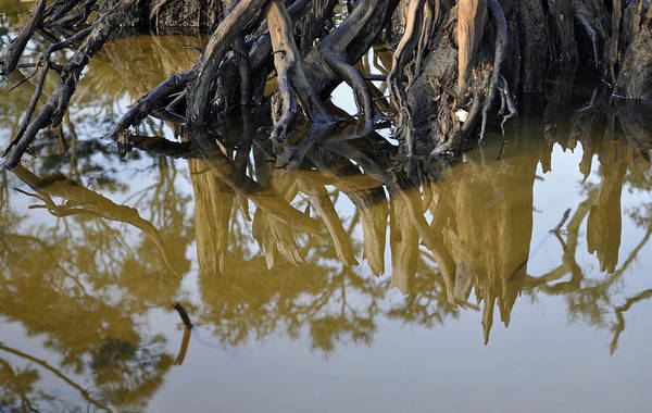 Photograph - Reflective Stump by Bruce Gourley