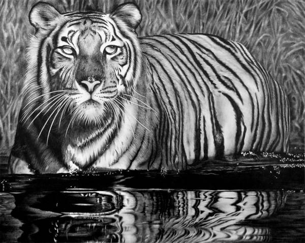 White Tiger Drawing - Reflective Tiger by Jerry Winick