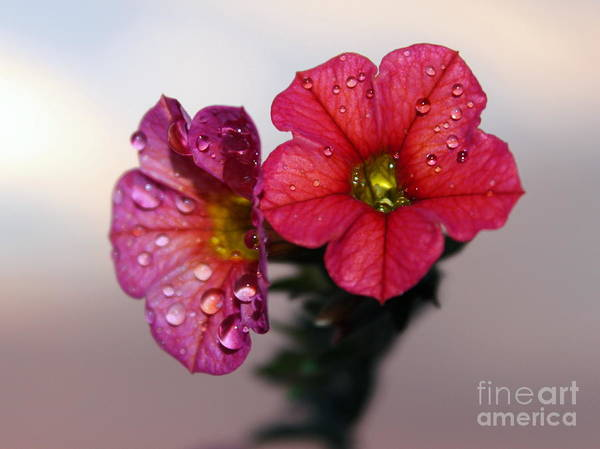 Petunias Photograph - Refreshing Storm by Krissy Katsimbras