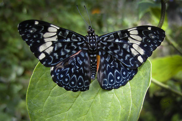 Photograph - Regal Blue Butterfly by Penny Lisowski