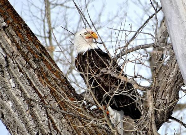 Photograph - Regal Eagle by Fiskr Larsen