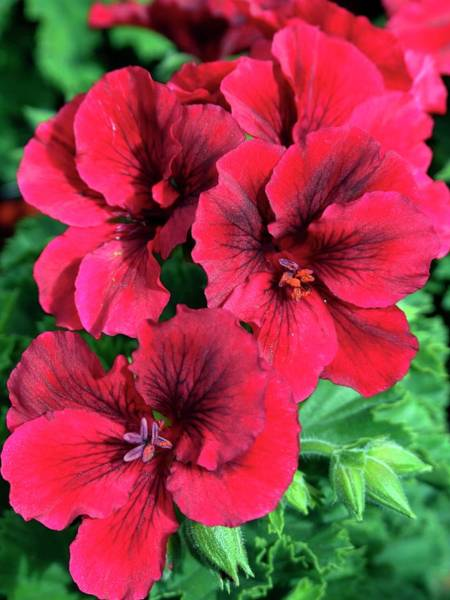 Red Geraniums Wall Art - Photograph - Regal Geranium (pelargonium) by Ian Gowland/science Photo Library