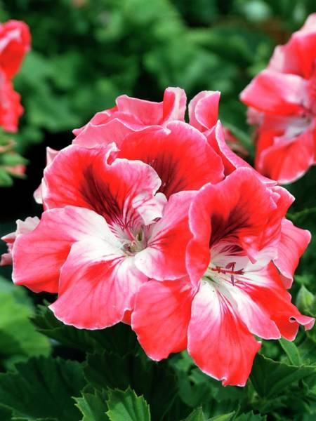 Red Geraniums Wall Art - Photograph - Regal Geranium (pelargonium 'manderin') by Ian Gowland/science Photo Library
