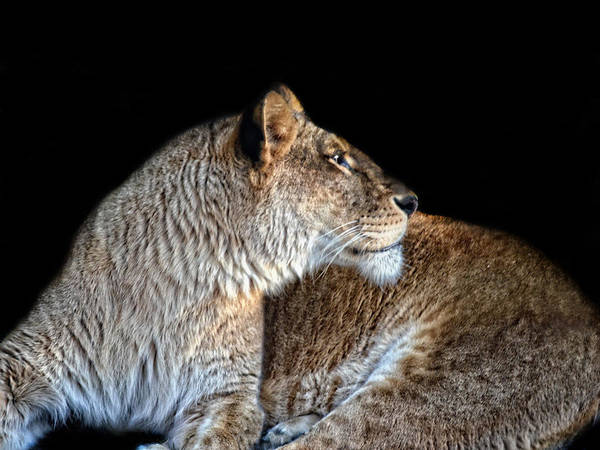 Photograph - Regal Lioness by Maggy Marsh