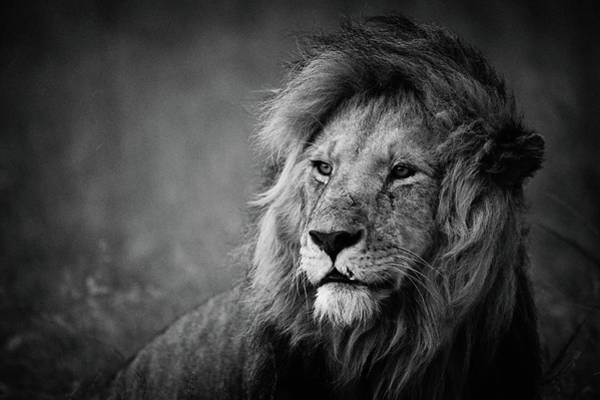 Mane Wall Art - Photograph - Regal by Mohammed Alnaser
