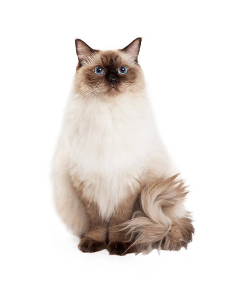 Long Hair Cat Photograph - Regal Ragdoll Cat Sitting by Susan Schmitz