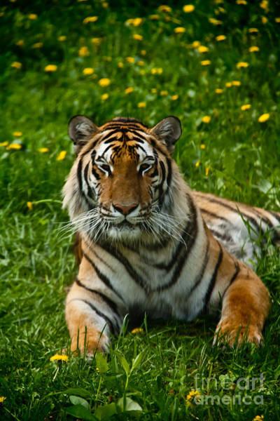 Photograph - Regal Tiger by Rachel Duchesne