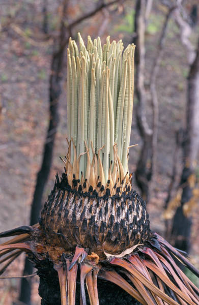 New Leaf Photograph - Regrowing Cycad Tree by Andrea Balogh/science Photo Library