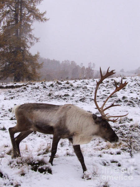 Photograph - Reindeer Bull - Falling Snow by Phil Banks
