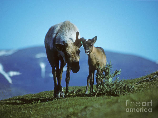 Photograph - Reindeer Cow With Calf - Cairngorms by Phil Banks