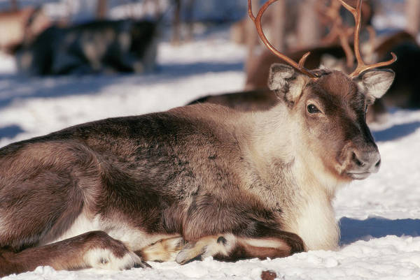 Wall Art - Photograph - Reindeer by David Hay Jones/science Photo Library