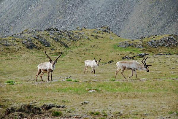 Wall Art - Photograph - Reindeer  by Erlendur Gudmundsson