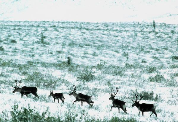 Migrate Photograph - Reindeer Herd by William Ervin/science Photo Library