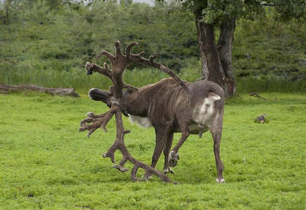 Reindeer With A Big Rack Art Print