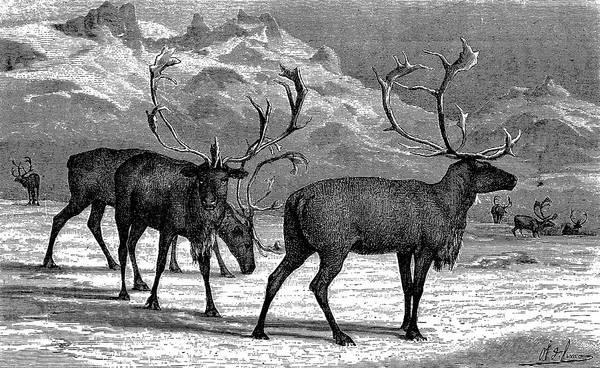 Pencil Drawing Digital Art - Reindeers by Ilbusca