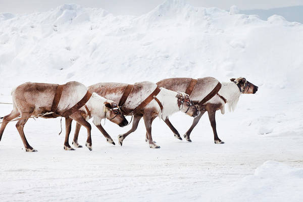 Wall Art - Photograph - Reindeers by Lili Basic Capaccetti