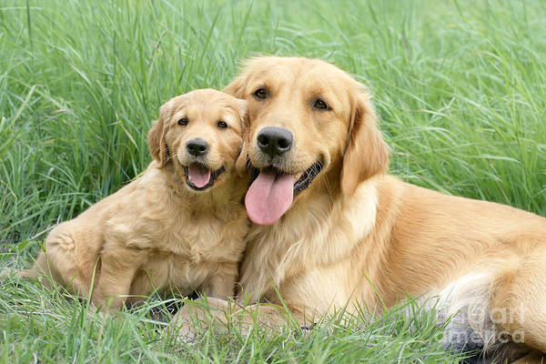 Golden Retriever Digital Art - Relaxing Retrievers by MGL Meiklejohn Graphics Licensing