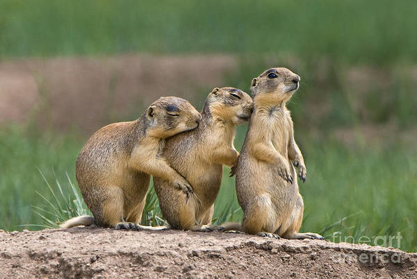Photograph - Relaxing Utah Prairie Dogs Cynomys Parvidens Wild Utah by Dave Welling