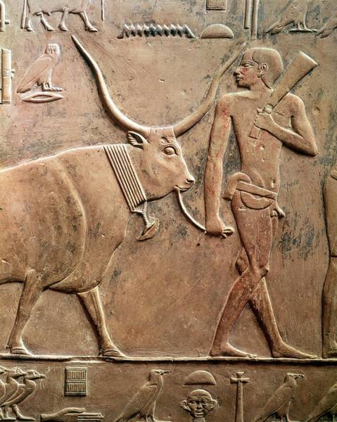 Hieroglyph Photograph - Relief Depicting A Peasant Leading A Cow To Sacrifice, From The Mastab Of Ptah-hotep by Egyptian 5th Dynasty