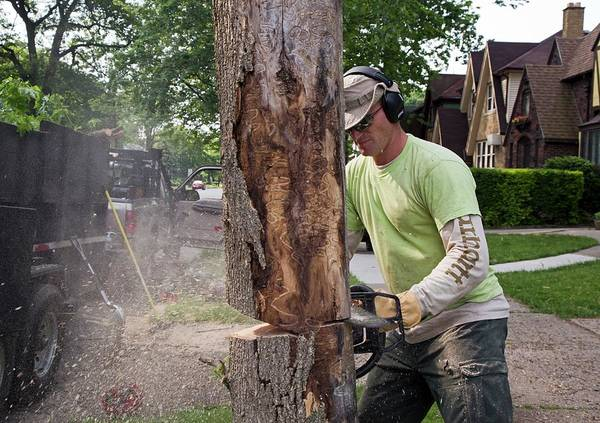 Introduced Species Photograph - Removing Ash Borer Infected Tree by Jim West