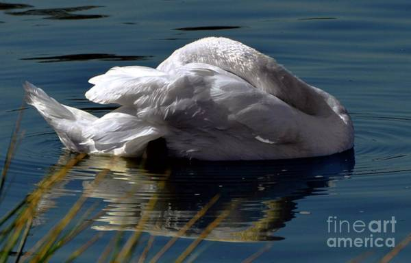 Digital Art - Reposing Swan by Dale   Ford