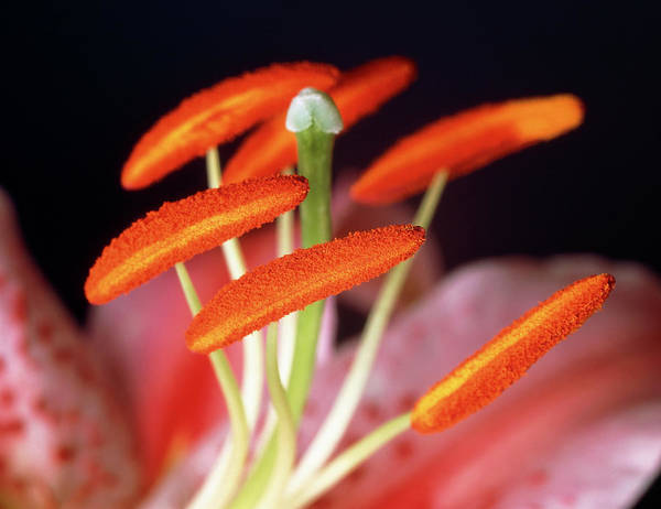 Anther Wall Art - Photograph - Reproductive Parts Of A Lily Flower by Martin Land/science Photo Library
