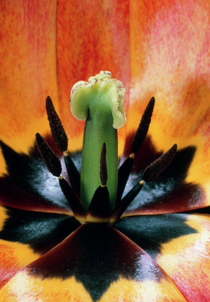 Anther Wall Art - Photograph - Reproductive Parts Of A Tulip Flower by Dr Jeremy Burgess/science Photo Library