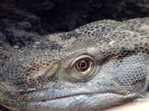 Photograph - Reptile by Cleaster Cotton