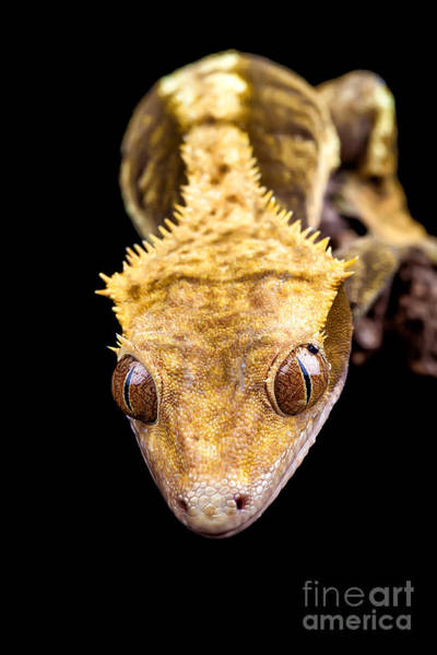 Wall Art - Photograph - Reptile Close Up On Black by Simon Bratt Photography LRPS