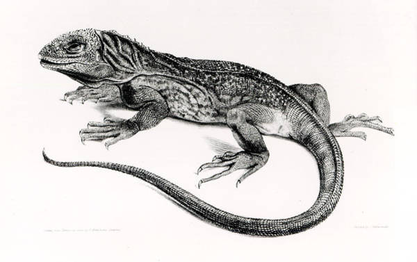 Biology Painting - Reptile by English School