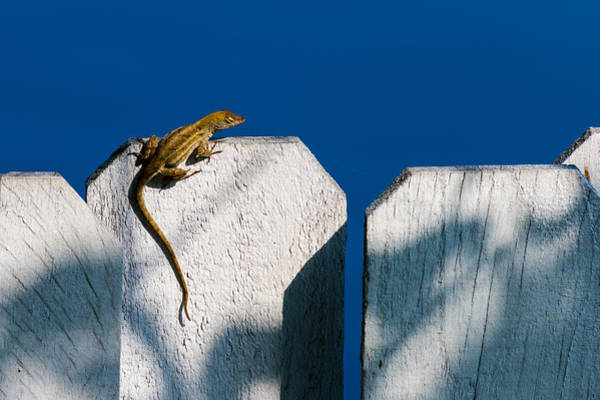 Photograph - Reptile On A Fence by Ed Gleichman