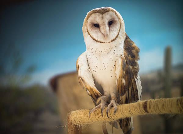 Barn Photograph - Rescued Barn Owl by By Derek Z