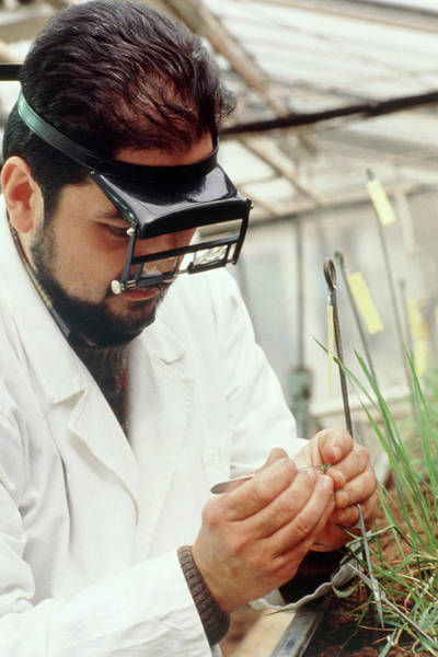 Pollination Photograph - Researcher Artificially Hybridising Wheat by Klaus Guldbrandsen/science Photo Library