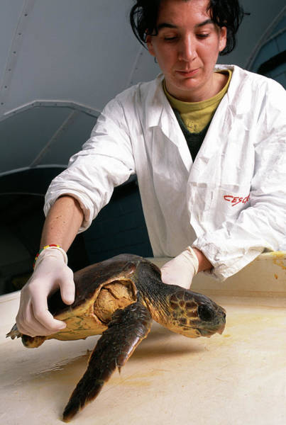 Wall Art - Photograph - Researcher With Turtle by Mauro Fermariello/science Photo Library