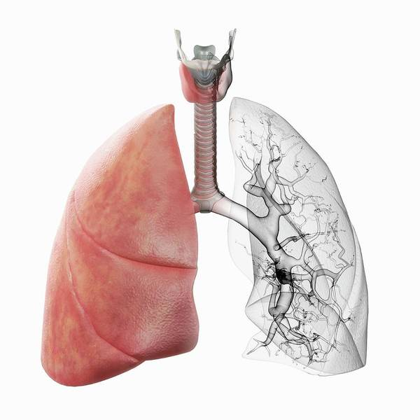 Wall Art - Photograph - Respiratory System by Science Picture Co/science Photo Library