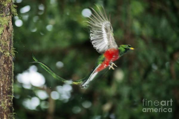 Quetzals Photograph - Resplendent Quetzal by Gregory G. Dimijian, M.D.