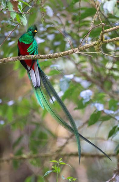 Quetzals Photograph - Resplendent Quetzal by Max Waugh