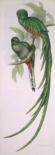 Wall Art - Photograph - Resplendent Quetzal by Natural History Museum, London/science Photo Library