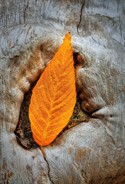 Photograph - Resting Autumn Leaf by Gary Slawsky