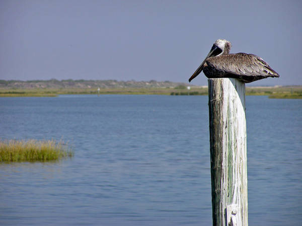 Photograph - Resting Brown Pelican by Adam Johnson