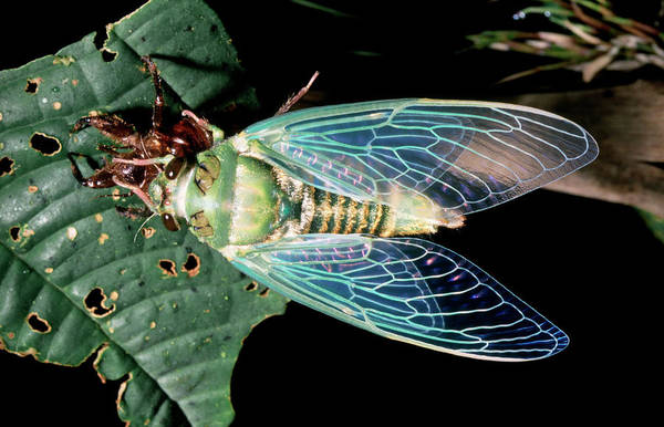 Cicada Wall Art - Photograph - Resting Cicada by Dr Morley Read/science Photo Library