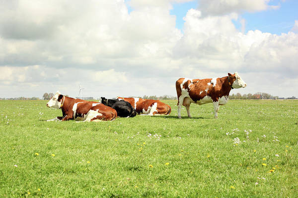 Resting Photograph - Resting Cows by Marcel Ter Bekke
