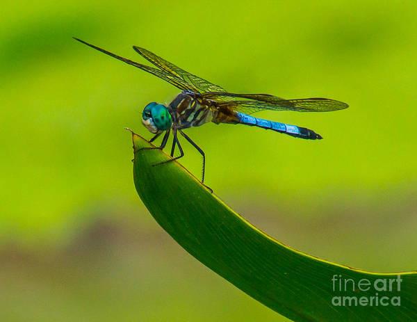Photograph - Resting Dragonfly by Nick Zelinsky