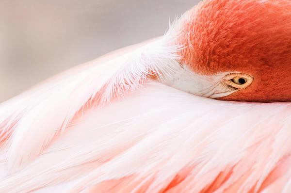 Don Johnson Photograph - Resting Flamingo by Don Johnson