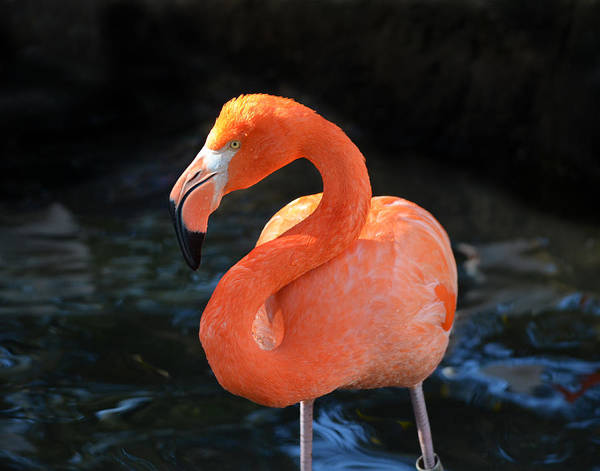 Photograph - Resting Flamingo by Maggy Marsh