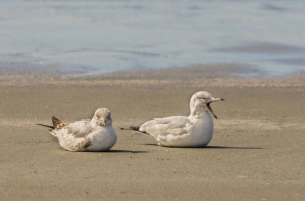 Photograph - Resting Gulls by Robert Mitchell