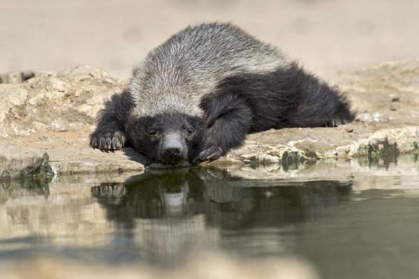 Scavengers Photograph - Resting Honey Badger by Tony Camacho