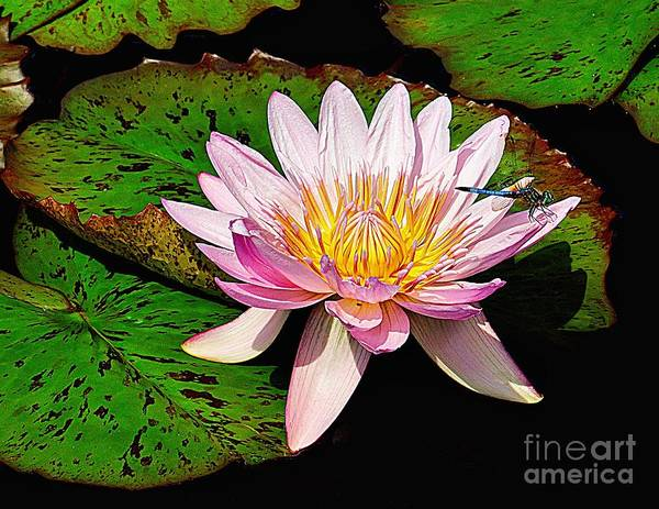 Photograph - Resting On A Water Lily by Nick Zelinsky